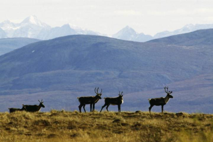 When it comes to progress on caribou protection, Environment Canada report finds more talk than action