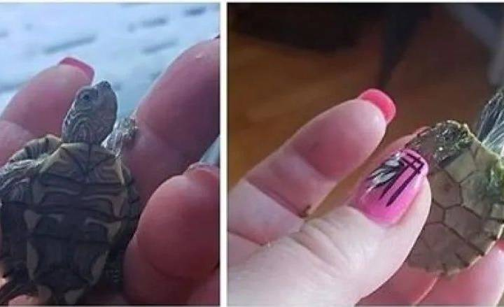 Alberta Fish and Wildlife looking for illegal pet turtles that pose 'potential public health hazard'