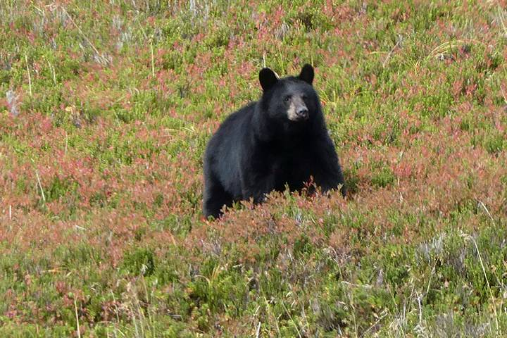 Bears spotted in Canmore neighbourhood prompt garbage disposal reminder