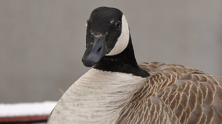 Edmonton hospital sets up live goose cam to watch growing family