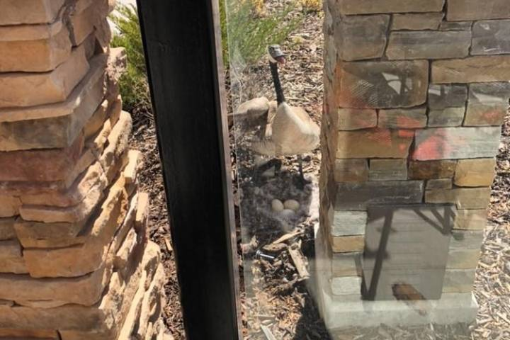 Patio season to start late for Edmonton restaurant with Canada goose nest outside
