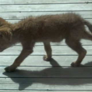 Coyote raises 6 pups in north Edmonton backyard