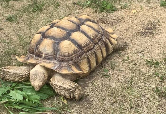 Tortoise found in northern Alberta reunited with Spruce Grove owner
