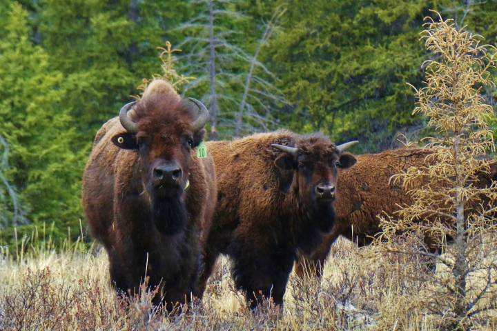 Backcountry hike to see Banff bison a spiritual journey for group of Alberta women