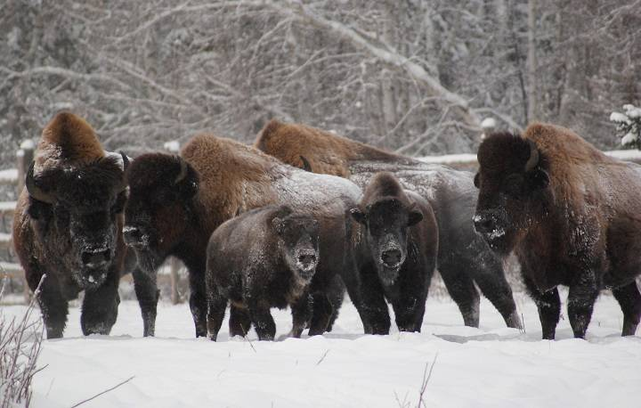 Elk Island National Park bison populating herds across globe 'the cornerstone of conservation'