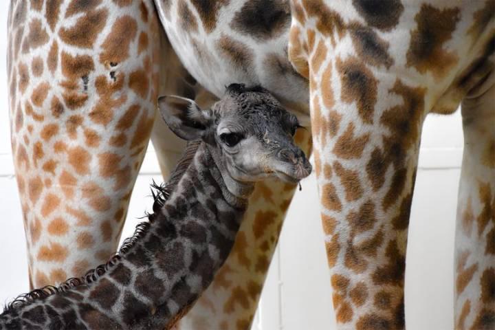 Giraffe calf born at the Calgary Zoo