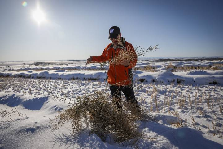 'Harvest from hell': 2.7 million acres of canola left buried under snow in Western Canada