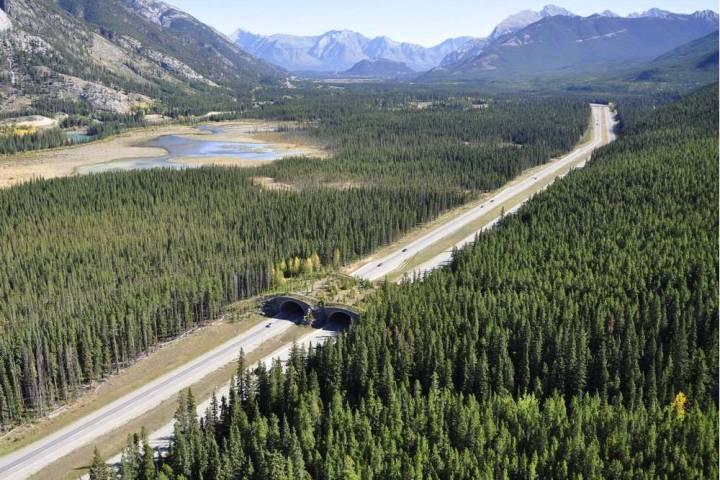Advocates push for more wildlife corridors in Banff National Park