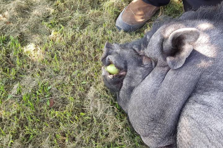 Family looking for answers after pet pig killed near Mayerthorpe; no suspects