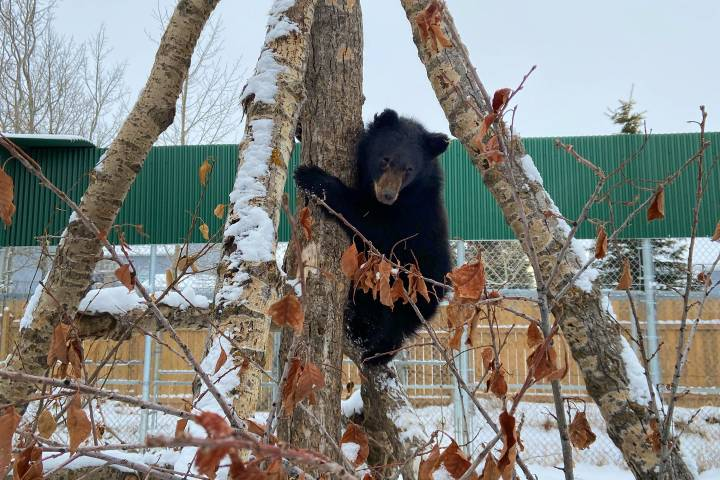 Alberta bear cub too skinny to hibernate being rehabilitated