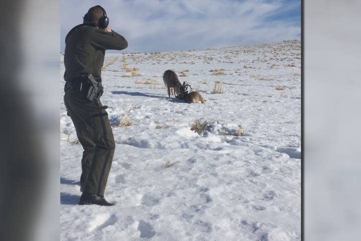 Calgary wildlife officer uses shotgun to free deer who locked antlers
