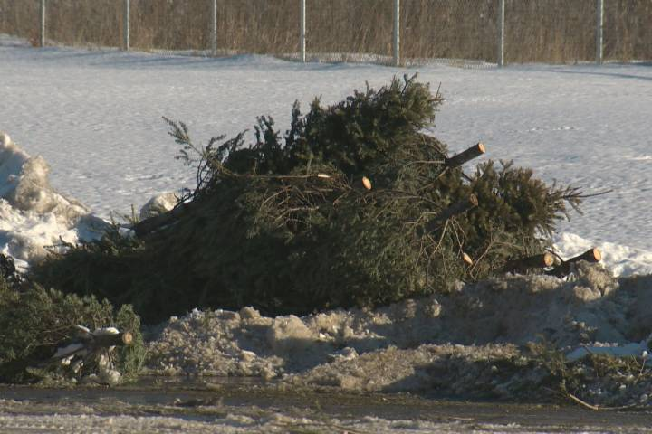 Christmas tree collection finally underway in Edmonton after weather-related delays