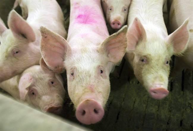 Alberta pork industry sees market price drop amid COVID-19