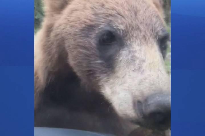 Northern Alberta bear encounter captured on video