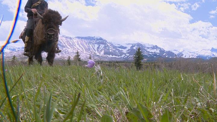 Southern Alberta cowboy trains orphan buffalo to ride