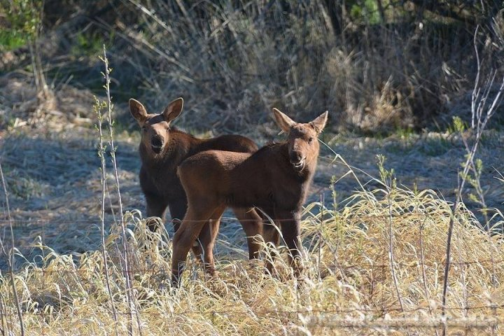 Alberta Fish and Wildlife rescues 2 moose calves after mother hit by vehicle near Sherwood Park