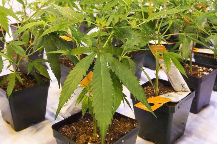 Cannabis companies facing proposed class-action lawsuit over alleged mislabelling
