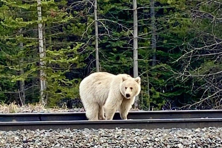 Concerns raised as people crowd rare white grizzly in Banff and Yoho parks