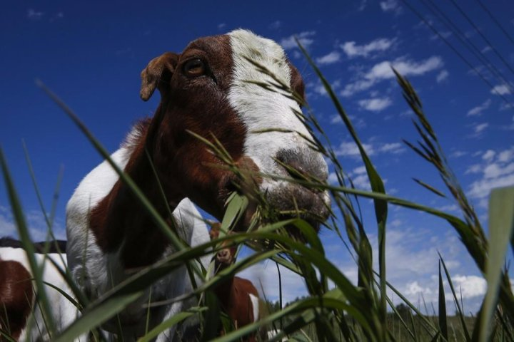 Alberta air force base to use goats, sheep to get rid of unwanted vegetation