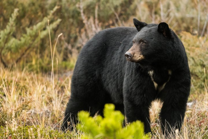 Black bear euthanized at Waterton Lakes National Park for 'excessive level of habituation': Parks Canada