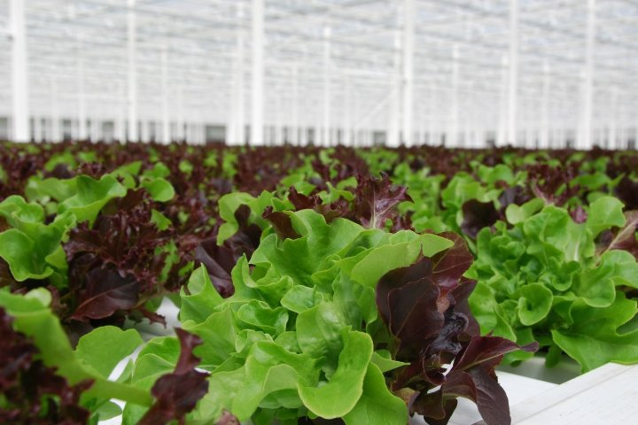 Coaldale greenhouse becomes exclusive lettuce supplier for Wendy's Canada