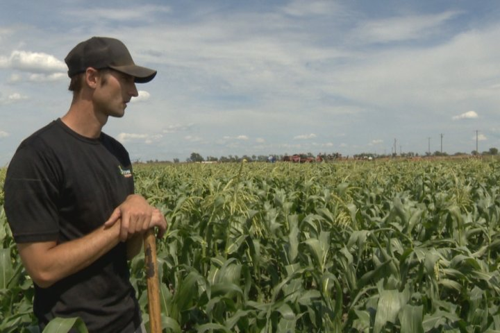 Taber corn growers facing second-straight year of hail-related challenges