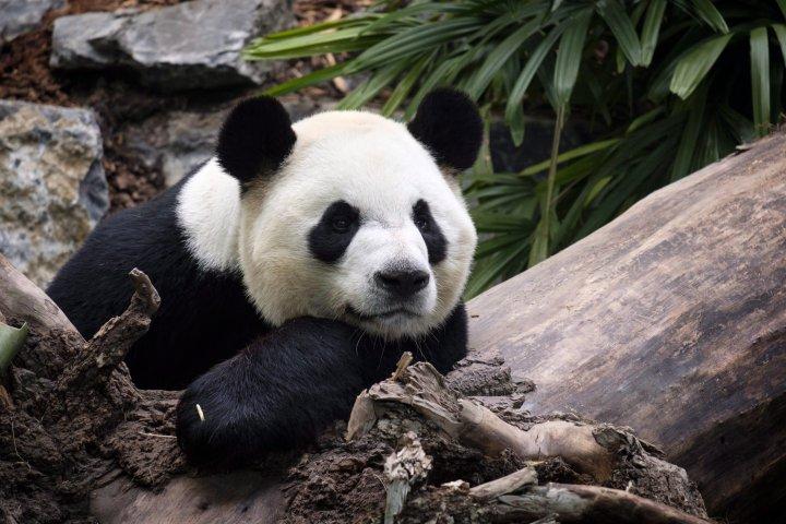 Welfare of giant pandas stuck at Calgary Zoo 'in jeopardy' amid dwindling bamboo supply
