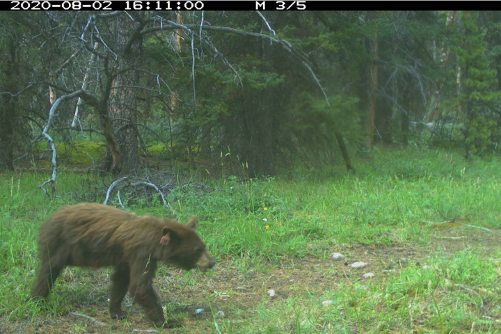 1 of 3 orphaned black bear cubs found in Banff bathroom spotted on trail camera