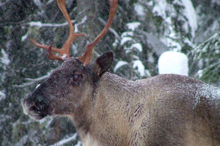 Caribou herd in Jasper National Park considered locally extinct as other herds in park face challenges
