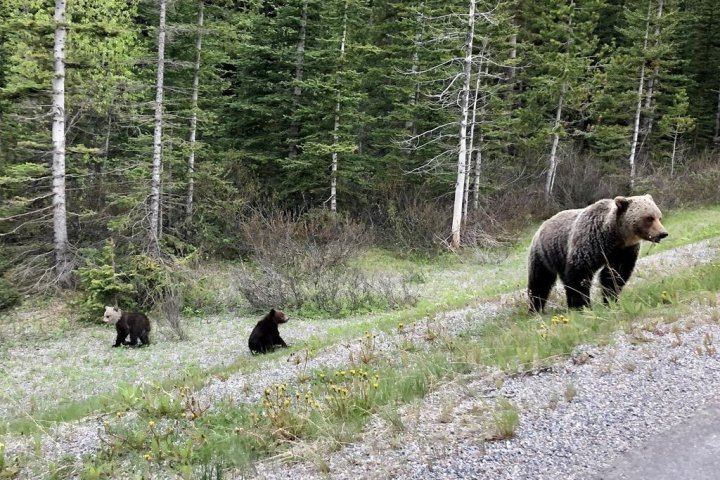 Death of mother grizzly in Banff National Park 'a big loss for the population,' experts say