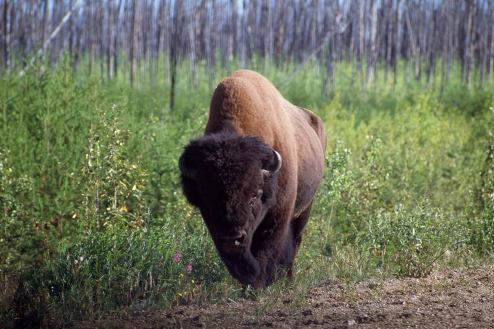Federal government announces $60M funding to restore Wood Buffalo National Park