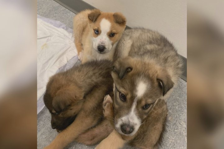 RCMP investigating after 3 puppies found abandoned on rural Alberta highway