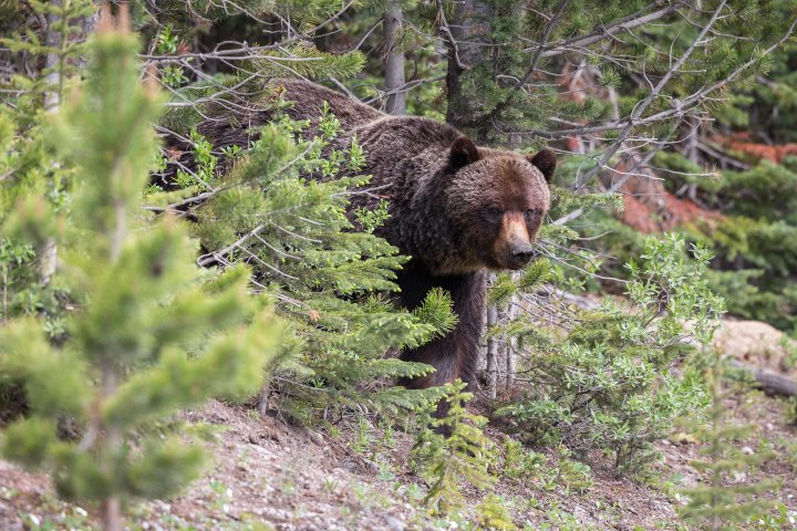 Kananaskis Country mountains closed after grizzly with cubs charged at people