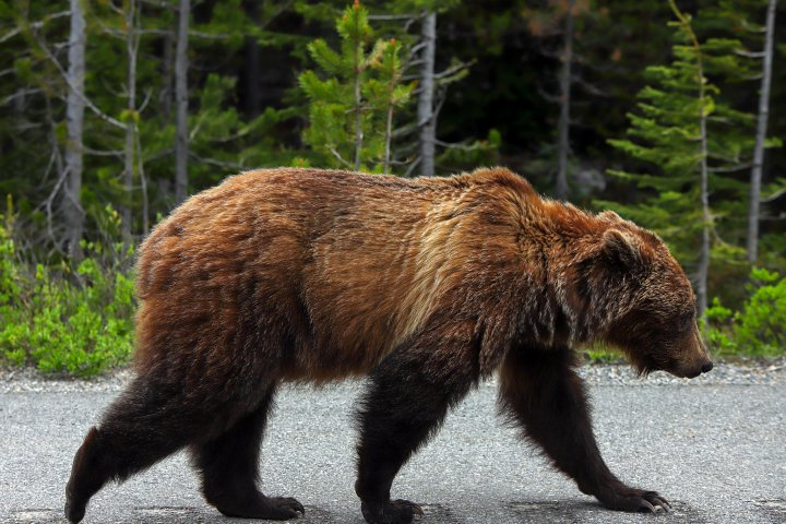 Kananaskis Country trail closed after grizzlies spotted: Alberta Parks